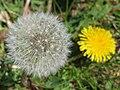 2019-04-25 (159) Taraxacum officinale (common dandelion) at Haltgraben, Frankenfels, Austria.jpg