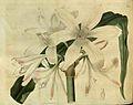 2466 Crinum zeylanicum (Crinum careyanum).jpg