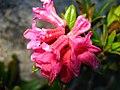 3521 - Fiescheralp - Rhododendron ferrugineum.JPG
