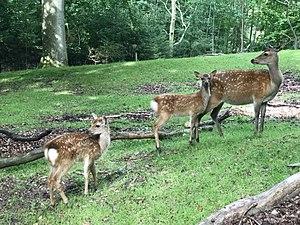 Marselisborg Deer Park - Image: 3 con hoẵng châu Âu