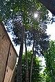 46-101-5031 Lviv Trusha 24 Pinus Cembra RB 18.jpg