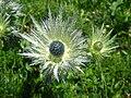 5688 - Schynige Platte - Eryngium alpinum.JPG