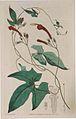 9 Ipomoea hederifolia.jpg