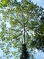 AD Tetameles nudiflora Habit (5).jpg