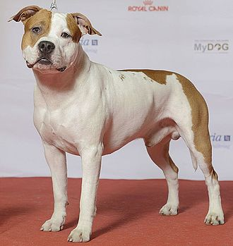 American Staffordshire Terrier - American Staffordshire Terrier at a dog show