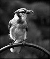 A Black and White Blue Jay (4818028350).jpg