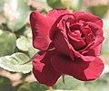 A Rose (801761957).jpg