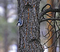 A White-Breasted Nuthatch clings to a pine tree in Coconino National Forest (4166145723).jpg
