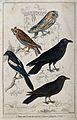 A barn owl, long eared owl, raven, magpie and crow. Coloured Wellcome V0022351.jpg