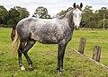 A beautiful Grey at Brackenridge-1 (8852554330).jpg