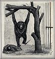 A chimpanzee swinging from a branch of a tree in an enclosur Wellcome V0020797.jpg