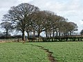 A fine line of trees near Morleymoor farm - geograph.org.uk - 360826.jpg
