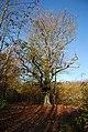 A fine oak tree, Hurst Wood - geograph.org.uk - 1571684.jpg