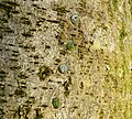 A group of Viscum album seeds on Lime tree bark, Chapeltoun, Ayrshire.jpg