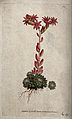 A houseleek (Sempervivum arachnoideum); flowering plant. Col Wellcome V0044363.jpg