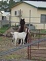 A llama and a goat.jpg