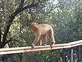 A monkey in Ouzoud waterfalls.jpg