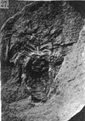 A monograph of the terrestrial Palaeozoic Arachnida of North America photos 23-29 27.png