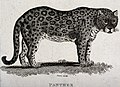 A panther. Etching by T. Owen. Wellcome V0020933.jpg
