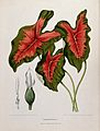 A plant (Caladium bicolour (Aiton) Vent.); 3 large stalked l Wellcome V0042685.jpg