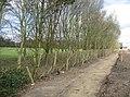 A severe hedge cut - geograph.org.uk - 756300.jpg