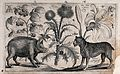 A thistle in the centre with a boar to the left facing a mas Wellcome V0044044.jpg