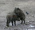 Aaskrähe bei Wildschweinen März 2012.JPG