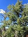 Abies concolor subsp. concolor kz06.jpg