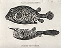 Above, a biaculeated trunk-fish; below, a horned trunk-fish. Wellcome V0022054.jpg