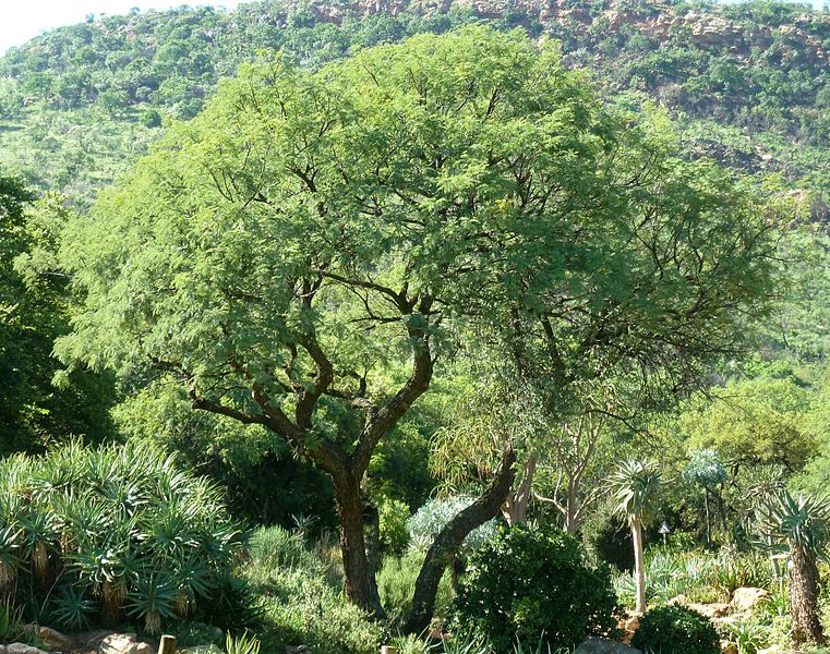 File:Acacia caffra, habitus, Walter Sisulu NBT.jpg