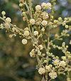 Acacia leucophloea flowering in Vanasthalipuram, Hyderabad, AP W IMG 9224