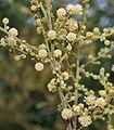 Acacia leucophloea flowering in Vanasthalipuram, Hyderabad, AP W IMG 9224.jpg