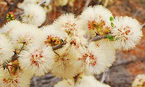 Senegalia mellifera - Inflorescences