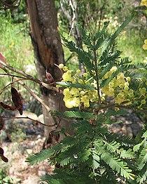Acacia parramattensis-closeup.jpg