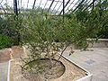 Acacia verticillata 'Prickly Moses' (Legumnosae) plant.jpg