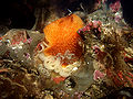 Acanthodoris lutea laying eggs 3.jpg
