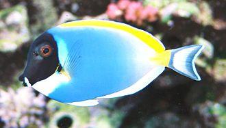 Acanthuridae - Powderblue surgeonfish, Acanthurus leucosternon