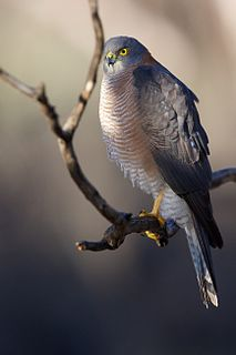 Collared sparrowhawk species of bird