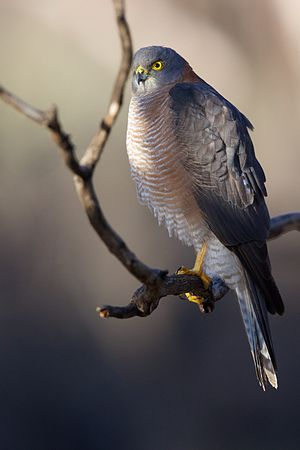 Collared sparrowhawk - Image: Accipiter cirrocephalus Collared Sparrowhawk