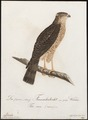 Accipiter nisus - 1800-1812 - Print - Iconographia Zoologica - Special Collections University of Amsterdam - UBA01 IZ18300087.tif