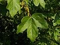 Acer campestre 005.jpg