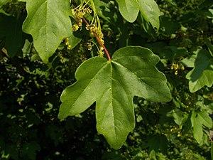 Acer campestre - Leaf