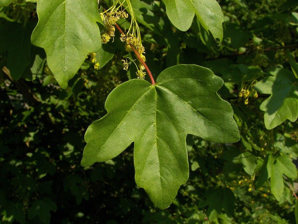 Acer campestre 005