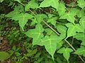 Acer crataegifolium 3.JPG