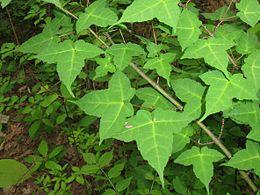 Acer crataegifolium 3