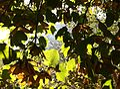 Acer obtusifolium.jpg