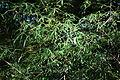 Acer pentaphyllum - Quarryhill Botanical Garden - DSC03226.JPG