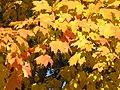 Acer saccharum Homewood Cemetery.jpg
