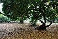 Acharya Jagadish Chandra Bose Indian Botanic Garden - Howrah 2011-02-20 1575.JPG
