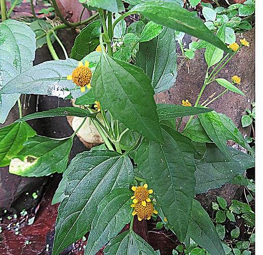 Acmellia oleracea